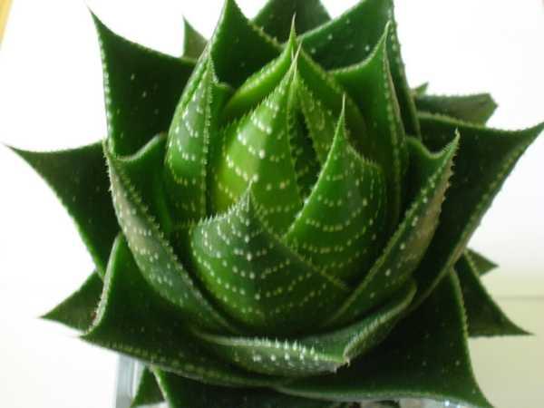 plante grasse identification