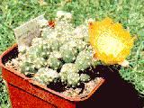 Maihueniopsis glomerata