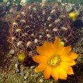 Sulcorebutia muschii