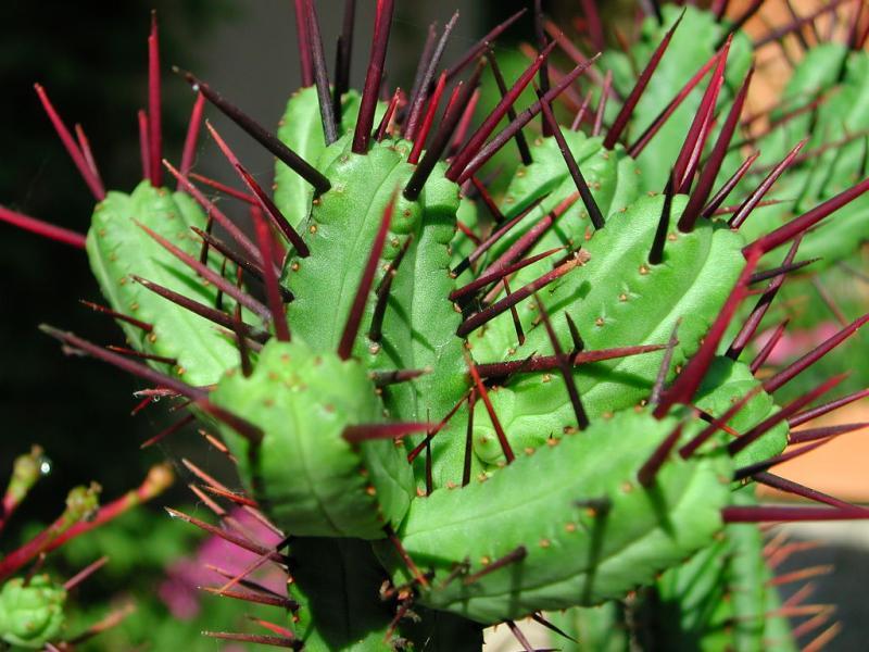 Au cactus francophone euphorbia enopla - Plantes grasses succulentes ...