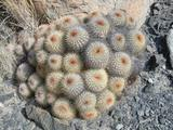 Copiapoa serpentisulcata