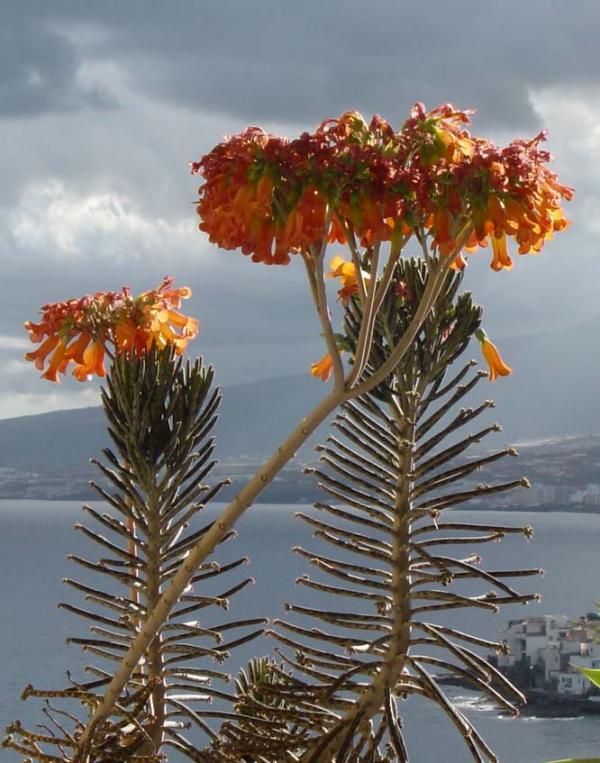 Au Cactus Francophone Kalanchoe Tubiflora