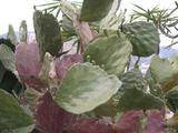 undulata