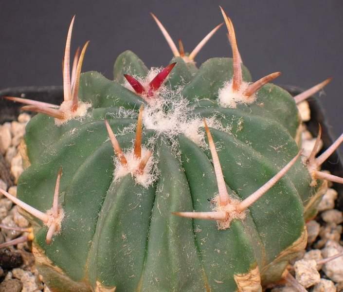 Stenocactus coptonogonus