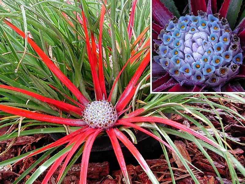 Au Cactus Francophone : Fascicularia bicolor: https://www.cactuspro.com/photos/Bromeliaceae/Fascicularia/bicolor...