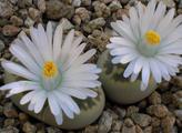 Lithops karasmontana ssp. bella
