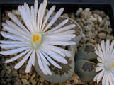 Lithops villetii ssp. kennedyi