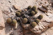 Copiapoa decorticans