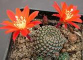 Rebutia heliosa v. condorensis