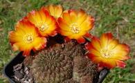 Sulcorebutia verticillacantha v. aureiflora