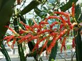 Fouquieriaceae