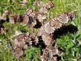 Sempervivum tectorum ssp. alpinum