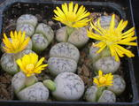 Lithops werneri