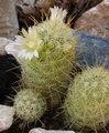 Mammillaria elongata ssp. echinaria