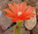 Corryocactus erectus