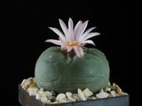 Lophophora williamsii v. texana