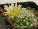 Mammillaria zephyranthoides ssp. heidiae