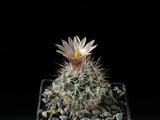 Turbinicarpus beguinii ssp. hintoniorum