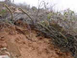 Corryocactus melaleucus