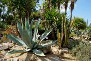 Au cactus francophone recherche dernieres - Le jardin exotique de roscoff ...