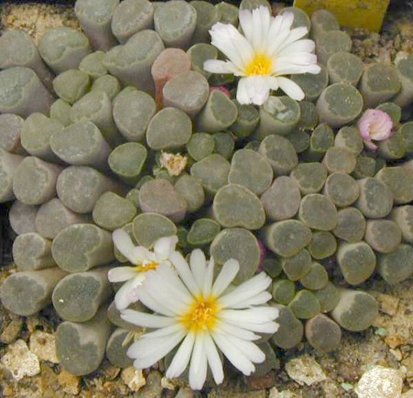 Frithia pulchra v. minor