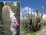 Espostoa lanata ssp. roseiflora