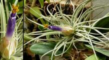 Bromeliaceae - Tillandsia velickiana