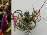 Bromeliaceae - Tillandsia caput-medusae