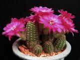 Cactaceae - Chamaelobivia 'Pauline'