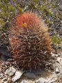 Cactaceae - Ferocactus chrysacanthus