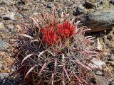 Cactaceae - Ferocactus gracilis ssp. gatesii