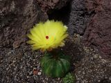Cactaceae - Notocactus campestrensis