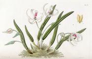 Orchidaceae - Leptotes bicolor