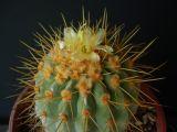 Cactaceae - Copiapoa cinerea ssp. haseltoniana