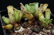 Crassulaceae - Adromischus cooperi