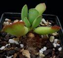 Crassulaceae - Adromischus cristatus
