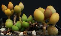 Crassulaceae - Adromischus marianae