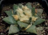 Cactaceae - Ariocarpus furfuraceus v. rostratus