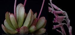 Crassulaceae - Adromischus umbraticola ssp. umbraticola