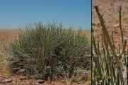 Euphorbiaceae - Euphorbia damarana