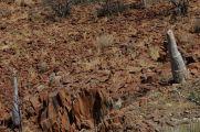Apocynaceae - Pachypodium lealii