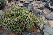 Euphorbiaceae - Euphorbia hamata