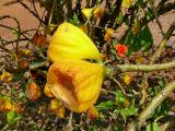 Cactaceae - Leuenbergeria bleo