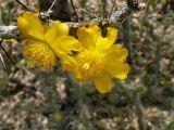 Cactaceae - Leuenbergeria guamacho