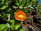 Cactaceae - Leuenbergeria lychnidiflora