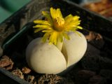 Lithops ruschiorum