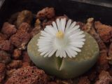 Lithops villetii