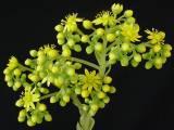Aeonium x simsii