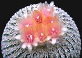Epithelantha pachyrhiza