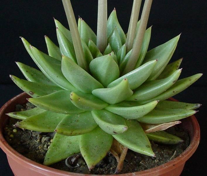 plante grasse echeveria